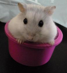 Teemo, rongeur Hamster