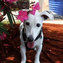 Tek, chien Jack Russell Terrier