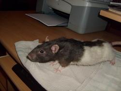 Teki, rongeur Rat