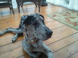 Tékila, chien Dogue allemand