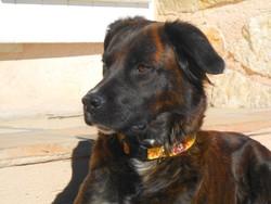 Tekila, chien Berger hollandais