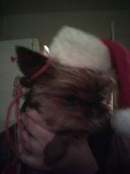 Tekila, chien Yorkshire Terrier