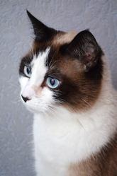 Tékina, chat Siamois