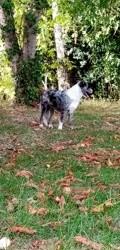 Tempête, chien Berger australien