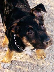 Tempérance  , chien Berger allemand