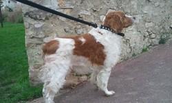 Tempo, chien Épagneul breton