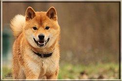 Tenko, chien Shiba Inu