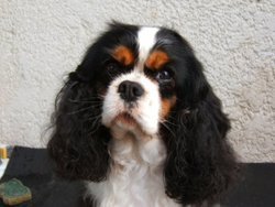 Tennessee, chien Cavalier King Charles Spaniel