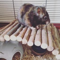 Tenshi Au Ciel, rongeur Hamster