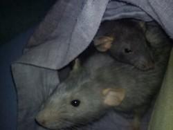 Tenshi, rongeur Rat