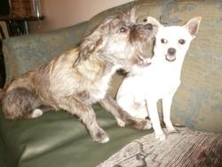 Téo  Et Kyla, chien Chihuahua