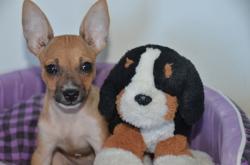 Téquila, chien Chihuahua