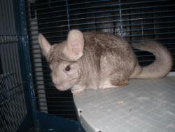 Tequila, rongeur Chinchilla