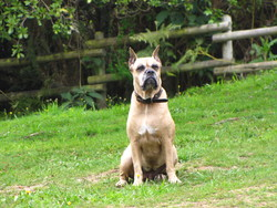 Tequila, chien Boxer