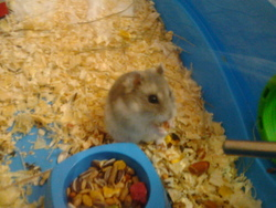 Téquila, rongeur Hamster