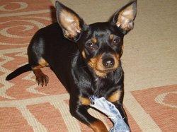 Tequila, chien Pinscher autrichien à poil court