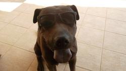 Téquila, chien Shar Pei