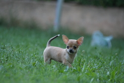 Tequila, chien Chihuahua