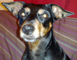 Tequila, chien Pinscher