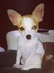 Tequila, chien Chihuahua