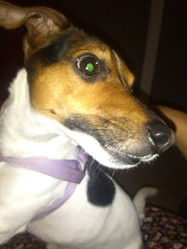 Tequila, chien Jack Russell Terrier