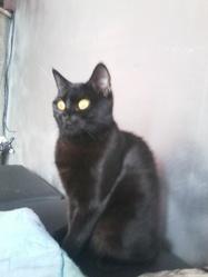 Tequilla, chat Européen