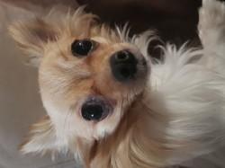 Terka, chien Chihuahua