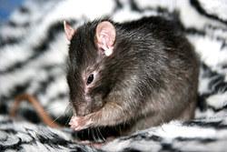 Inc Terrance, rongeur Rat