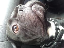 Terror, chien Bouledogue français