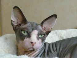 Terry, chat Sphynx