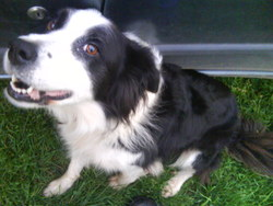 Tess, chien Border Collie