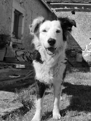 Tess, chien Border Collie