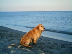 Tess Au Paradis, chien Golden Retriever