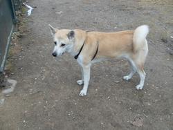 Tess, chien Akita Inu