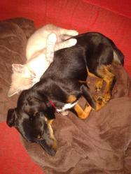Tess, chien Teckel