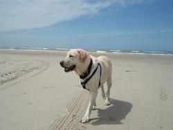 Tess, chien Labrador Retriever