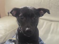 Tess, chien Pinscher