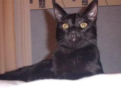 Tessa, chat Européen