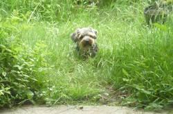 Tessie, chien Welsh Terrier
