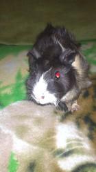 Tessie, rongeur Cochon d'Inde