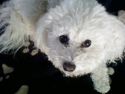 Tessie, chien Bichon à poil frisé