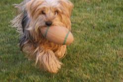 Tessy, chien Yorkshire Terrier