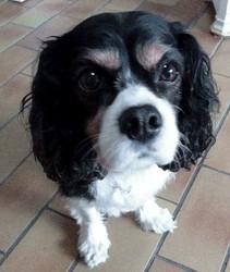 Tessy, chien Cavalier King Charles Spaniel