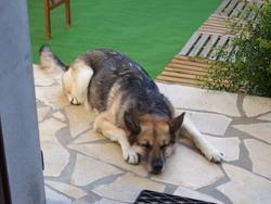 Tessy, chien Berger allemand