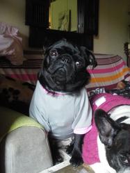 Tetine, chien Carlin