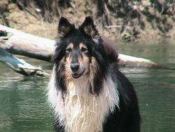 Tex Décédé, chien Colley à poil long