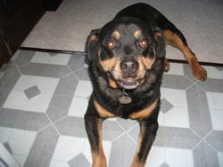 Texane, chien Rottweiler