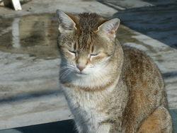 Texane, chat Gouttière