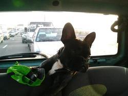 Texas, chien Bouledogue français