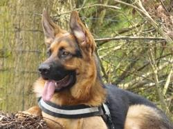 Texas, chien Berger allemand